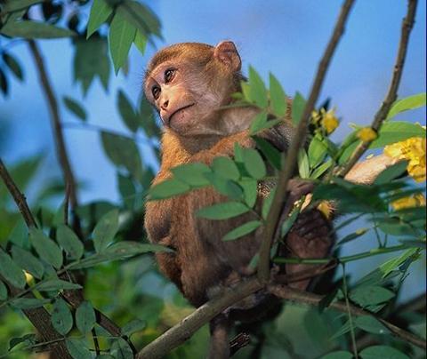 Monkey waiting to fall